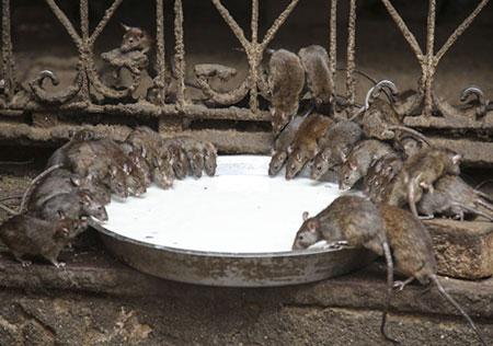 به موش های مقدس کبس گفته می شود