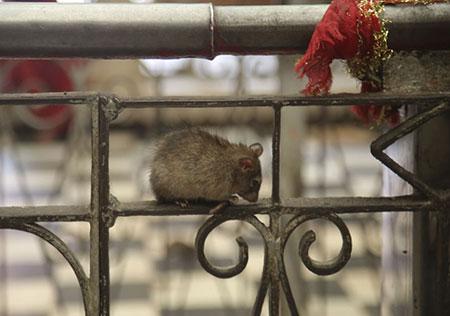معبد موش های مقدس در شهر دشونکا واقع است