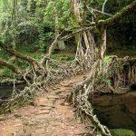 پل های زنده قدیمی یک قبیله در هند