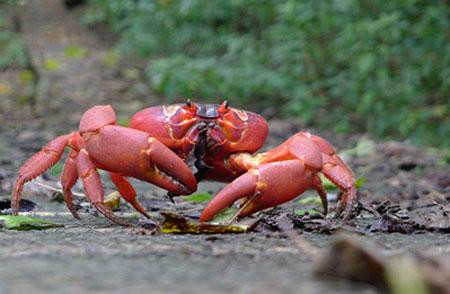 ترس از خرچنگها: جزیره کریسمس، استرالیا