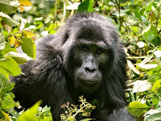 جنگل انبوه بویندی، اوگاندا