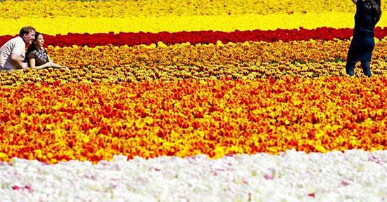 سرزمین گل های لاله، لیسِ، هلند (Tuilip fields, Lisse, Netherlands)