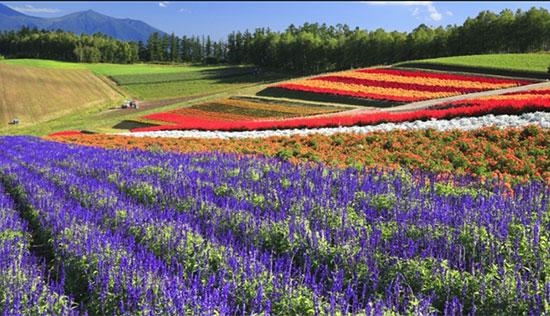 زمین های گل، هُکایدُو، ژاپن (Flower fields, Hokkaido, Japan)