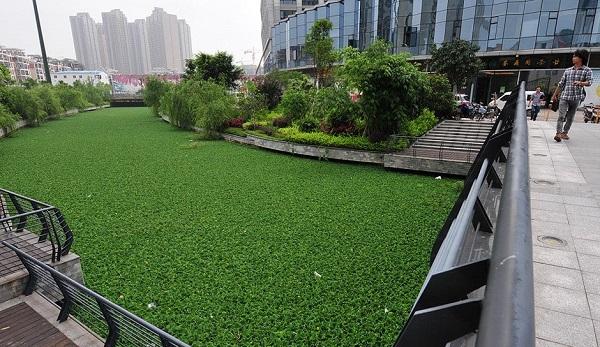 گیاهان این رودخانه در چین تسخیر کردند