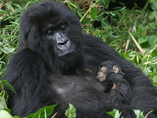 پارک ملی ولکانوز، رواندا
