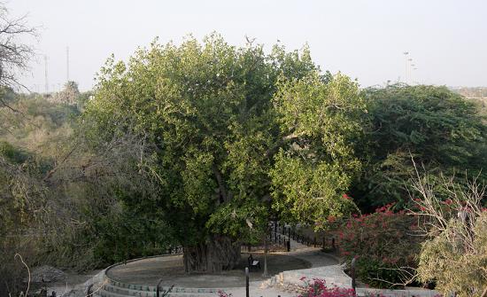 جاذبه های گردشگری کیش ، درخت سبز