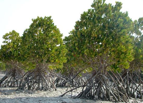 جنگل های مانگرو یا حرا در قشم