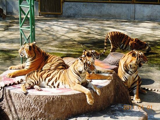 جاذبه های گردشگری تایلند ، باغ وحش ببرها در پاتایا